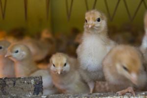chicks-perching