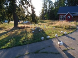 Broilers Free Ranging on Driveway