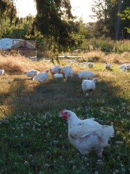 Broilers Free Ranging